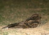 Large-tailed Nightjar -- 2008