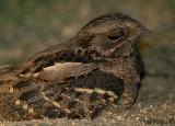 Large-tailed Nightjar - portrait -- 2008