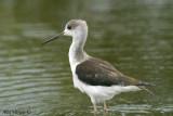 Black-winged Stilt - juvenile -- sp 151