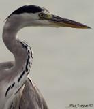 Grey Heron -- sp 161