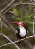 White-throated Kingfisher -- 2009 - front view