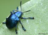 Blue Laddybug