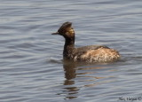 Eared Grebe - breeding plumage