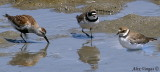 Dunlin + Semipalmated Plover