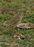 Paddyfield Pipit -- sp 47
