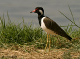 Red-wattled Lapwing -- 2008
