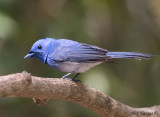Black-naped Monarch -- male - 2009