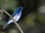 Hainan Blue Flycatcher -- atypical morph - 2009