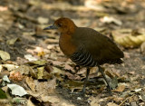 Slaty-legged Crake - sp 220