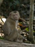 Pig-tailed Macaque - thinking
