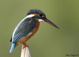 Common Kingfisher -- sp 141