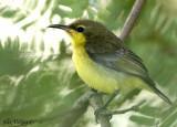 Olive-backed Sunbird - juvenile