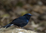 White-tailed Robin -- male - 2008
