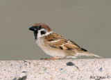 Eurasian Tree-Sparrow -- sp 38