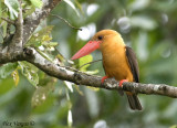 Brown-winged Kingfisher -- sp 208