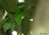 Green Broadbill -- sp 10
