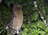 Buffy Fish-Owl -- sp 126