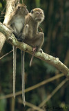 Long-tailed Macaque - Family
