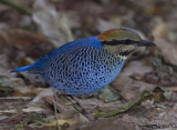 Blue Pitta - male