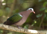 Emerald Dove -- sp 106