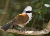 White-crested Laughingthrush -- 2009
