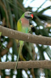 Red-breasted Parakeet - male -- sp 119