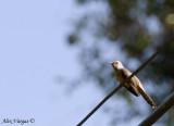Plaintive Cuckoo - male -- sp 117