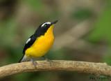 Yellow-rumped Flycatcher - male --  sp 207