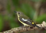 Yellow-rumped Flycatcher - female --  sp 207