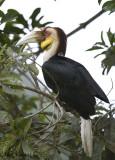 Wreathed Hornbill -- sp 232