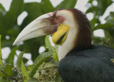Wreathed Hornbill - portrait -- sp 232