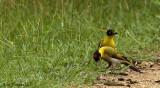 Black-headed Woodpecker - couple -- sp 23