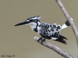 Pied Kingfisher -- 2009 - 4