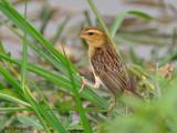 Asian Golden Weaver -- female - 2010