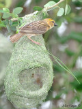 Baya Weaver - female -- sp 84