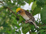 Baya Weaver - male -- sp 84