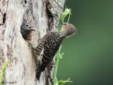 Buff-rumped Woodpecker - sp 235