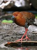 Red-legged Crake - 2009