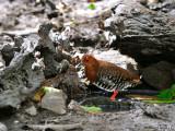 Red-legged Crake - 2009 - far away