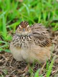 Indochinese Bushlark -- fluffy
