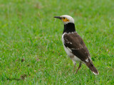 Black-collared Starling - Sp 239