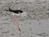 Black-winged Stilt -- sp 151