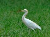 Cattle Egret - Molting  -- Sp 167