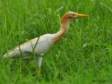 Cattle Egret  -- sp 167