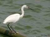 Little Egret - breeding -- sp 177