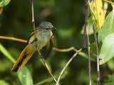 Small Minivet - juvenile -- sp 242