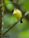 Common Tody-Flycatcher 2010 - 2