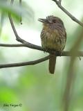 White-whiskered Puffbird - female - singing