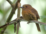 White-whiskered Puffbird - male