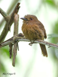 White-whiskered Puffbird - male - further out